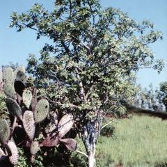 Prickly Pear Cactus (Opuntia helleri) and Incense Tree (Bursera graveolens) - Warm Season
