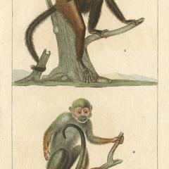 Cebus et Callithrix