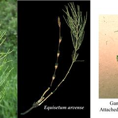 Composite of Equisetum arvense : vegetative shoot, fertile and vegetative shoots, and, gametophyte with young sporophyte