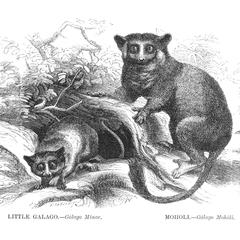 Little Galago and Moholi