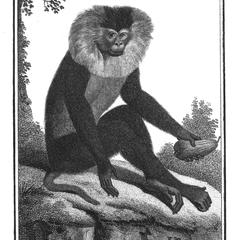 L' Ouanderou (Lion-tailed macaque)