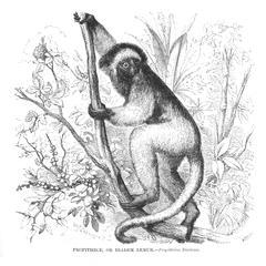 Propithece, or Diadem Lemur