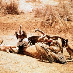 Vultures Feasting on Dead Donkey
