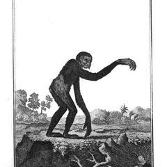 Petit Gibbon (Little gibbon)