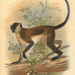 Green Guenon