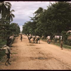 Tha Deua area--Sithan Tay : road traffic--buffalo