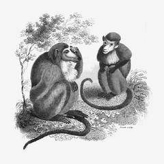 Long-Nosed Monkey and Prude Monkey