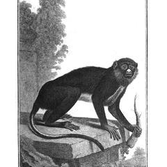 Le Blanc Nez (White nose monkey)