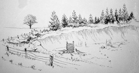 Pheasants at winter corn feeder in quarry