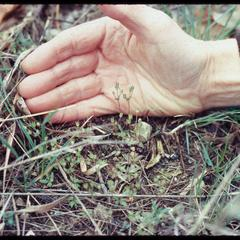 Androsace occidentalis in front of hand