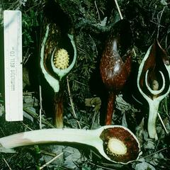 Dissected inflorescence of Skunk cabbage