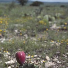 Bouteloua savana beyond southern border of Chihuahuan Desert