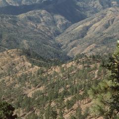 Pine forests, Las Vigas Pass