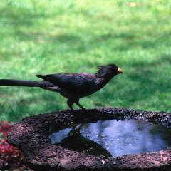 Gray Plantain-Eater at Birdbath