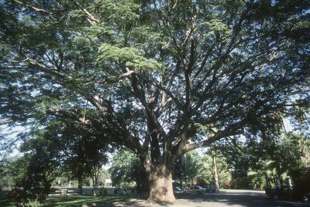 "Gigantic tree (rain tree, Samanea saman?""), Liberia"