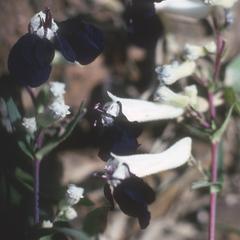 Dark-petaled Cuphaea flowers on roadside, near Huixcocos