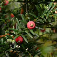 Branch with mature ovules with red arils of japanese yew