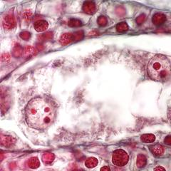 8-nucleated 7-celled embryo sac of Lilium