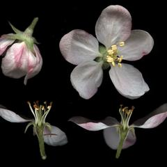 Malus domestica dissected flowers