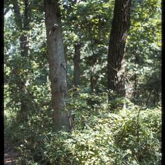 White and black oaks
