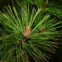 Red pine bough with clusters of microsporangiate cones