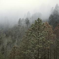 Abies-Cupressus cloud forest, Sierra de los Cuchumatanes