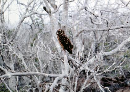 Short-eared Owl (Asio flammeus galapagoensis) in an Incense Tree (Bursera graveolens) - Cool Season