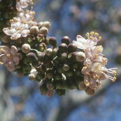 Ceiba pentandra flowers, Autlán