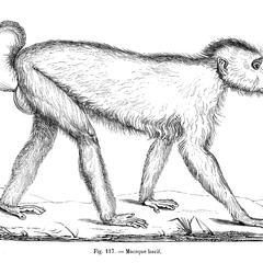Macaque lascif