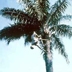 A Palm Wine Tapper at Work