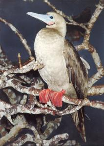 Red-footed Booby (Sula sula) in an Incense Tree (Bursera graveolens)