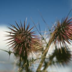 Close-up of flower heads of an alpine thistle, just south of Totonicapan