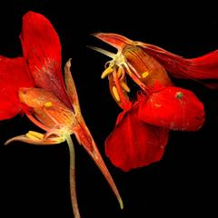 Floral dissection of Tropaeolum majus