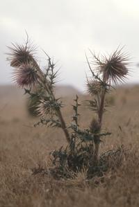 Thistle in alpine grassland above Totomicapan