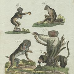 Mandrill, Chacma Baboon, Gibbon, and Saki Print