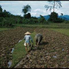 Plowing the paddy field