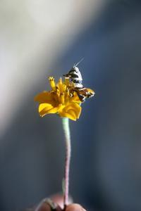 Compositae plant and grasshopper
