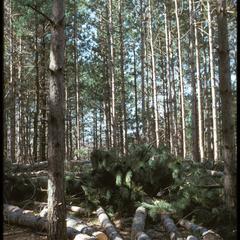 Pine thinning