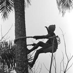 Climbing Tree to Cut Palm Nut Clusters