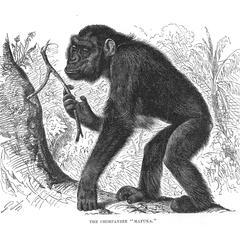 """The Chimpanzee """"Mafuka."""""""