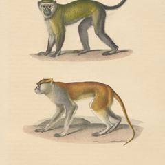 Malbrouck and Patas Monkey Print
