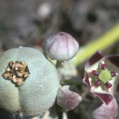 Flower and young fruit of Calotropis, a milkweed relative, near El Progreso