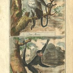 Mona Monkey and Spider Monkey Print