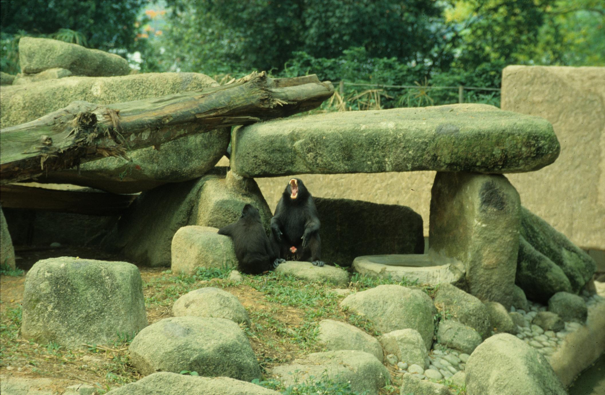 Macaca nigra
