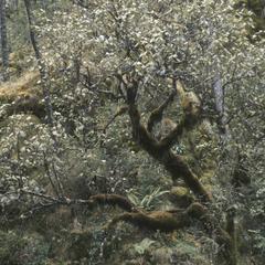 Viburnum juncundum in cloud forest