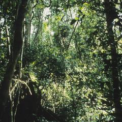 Procolobus verus