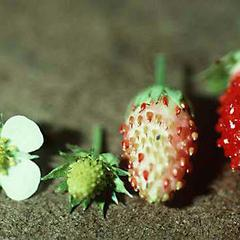 Stages of fruit development of Fragaria ananassa