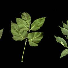 Three leaves from the same tree of box elder