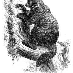 Avahi, or Indri