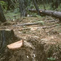 Cut pines below Zarzamora